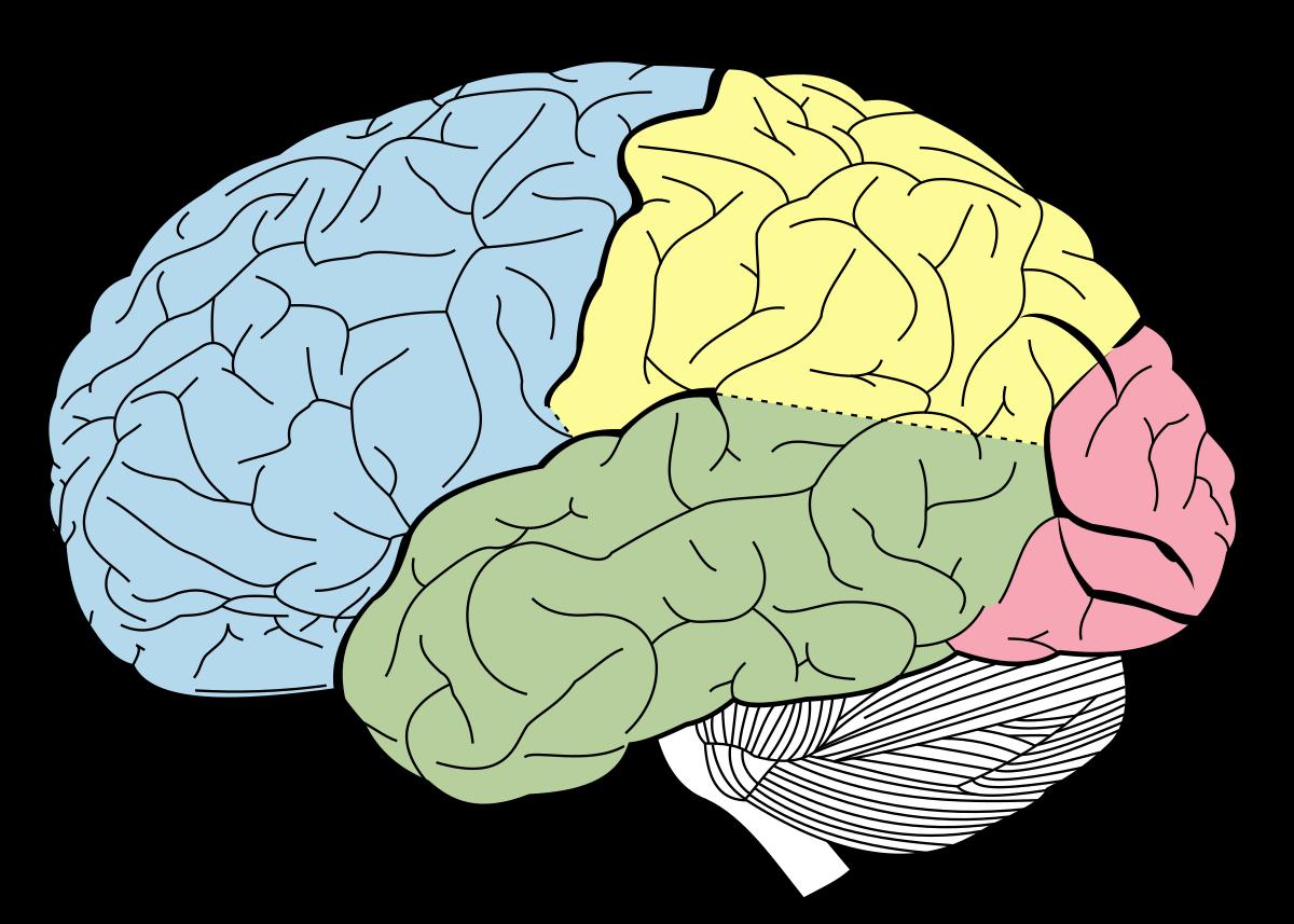 لوب فرونتال مغز و کارکردهای آن